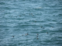10-more-images-of-the-burhou-puffins