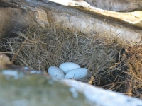 11-gulls-nest-on-burhou