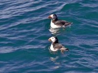 16-pair-of-puffins-in-the-water