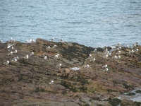 7-colony-of-gulls
