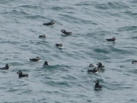 9-puffin-colony-in-the-waters-around-burhou