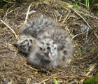 Gull chicks, Burhou