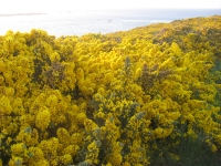 9. European or Common Gorse
