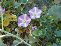 21. Sea Bindweed