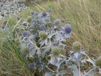 23. Sea Holly