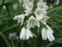 27. Three-cornered Leek