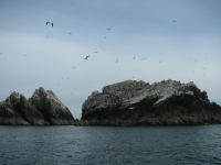 Burhou Gannets flying over the rocks