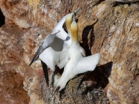 Gannets nesting on cliffs