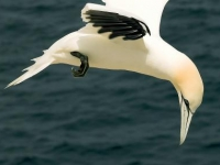 Ortacs Gannet about to swoop