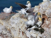 Gannet colony on cliff edge