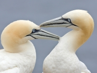 Pair of Gannets billing