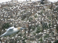 Burhou Gannet colony on the rocks