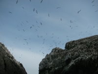 Burhou Gannet colony in flight