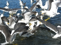 20. Colony of lesser black backed gulls