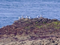 3. Burhou gulls looking out to sea