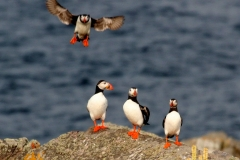 Puffins Gallery