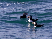 3 Puffins in the water