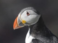 Puffin close-up