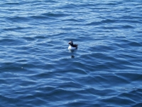Puffin in the sea