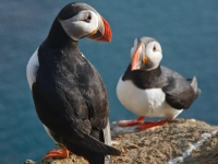 Pair of puffins close-up