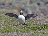 Puffin spreading wings