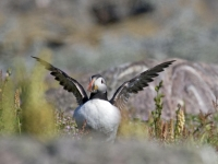 Puffin about to fly away