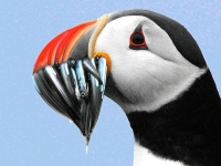 Puffin with a catch of sand eels