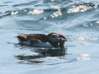 Puffin with sand eels in beak