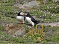 Rabbit and Puffins