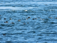 The raft of Puffins