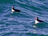Pair of puffins in the sea