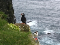 Puffins on the cliff ledge