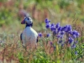 Puffin posing nest to flowers