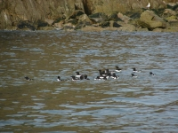 Razorbills in the water around Burhou