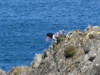 Oystercatcher on cliff