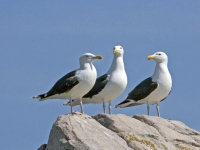 22. Great Black-backed Gulls