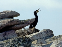 24. Cormorant on Burhou