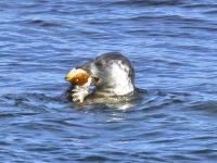 28. Grey Seal Eating