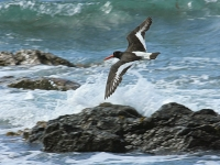 29. Oyster catcher