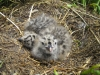 gull-chicks-burhou