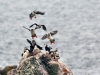 puffins-on-burhou-copyright-awt-ltd-photographer-bill-black-4