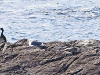 11.Burhou Shag and gulls on rocks