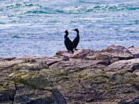 12. Burhou Pair of Shags