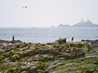 15. Burhou Shags with lighthouse in background