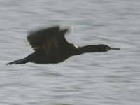 9. Shag in flight