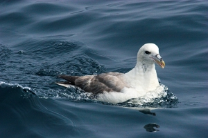 fulmar, nature, seabirds