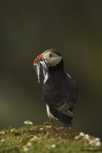 Puffin with sand eel - Neil Aldridge