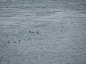 Shelduck to the right of the Puffins