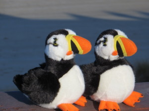 Travelling Puffins