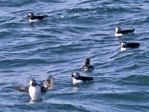 Puffins rafting
